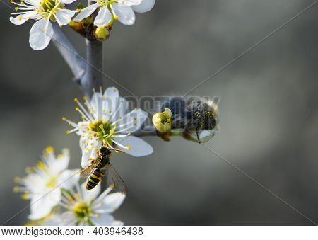 Wasp Crabronidae And Beetle Tropinota Hirta Sitting On A Flowering Branch. Beautiful Yellow Wasp On