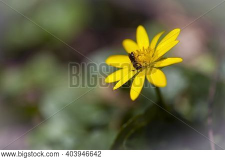 Black Wasp On Ficaria Verna. A Small Black Wasp Sits On A Yellow Flower And Collects Nectar. Flower
