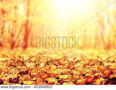 Fall season. Blurred background with autumn forest. Sunny fall backdrop with fallen leaves. Maples trees with yellow and orange leaves. Horizontal nature banner with yellow and orange autumn leaf