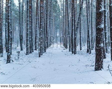Rows Of Pine Forest Trees In The Snow. Snow Blizzard. Forest. Pine Tree. Winter Season. Merry Christ