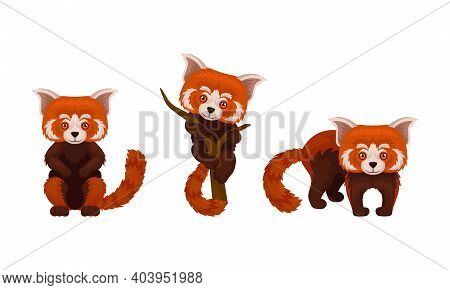 Red Panda With Reddish-brown Fur And Long Shaggy Tail Vector Set