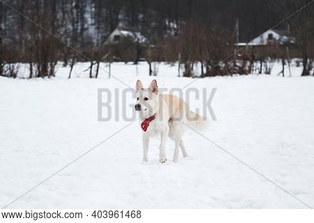 Adorable White Fluffy Pet Dog With Red Collar Walks In Winter Snow Park. Half-breed Shepherd And Hus