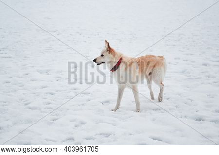 Half-breed Shepherd And Husky Stands In Snow In Beautiful Red Collar And Looks Into Distance. Adorab