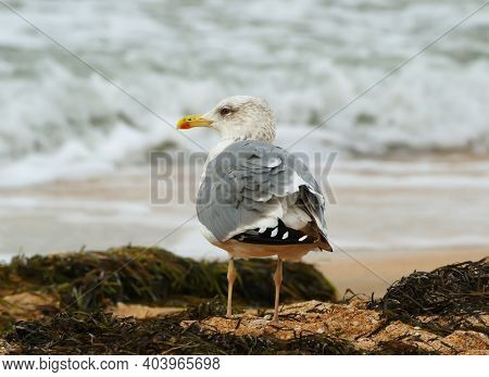 A Lone Common Gull Standing On The Beach Among The Seaweed, The Sea Of Azov