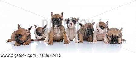 sweet group of seven little bulldog puppies looking to side, sitting and laying down isolated on white background in studio