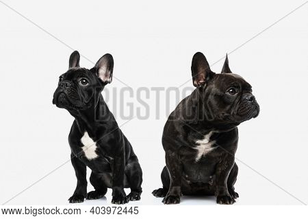 two upset french bulldog dogs ignoring each other, looking in different ways against white background
