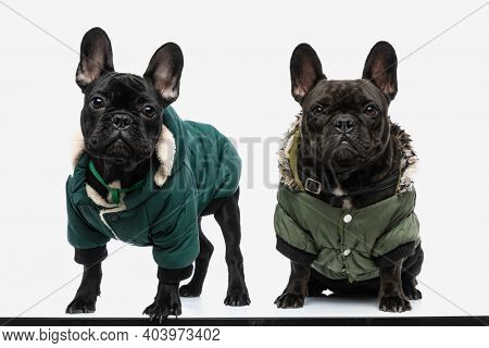 two french bulldog dogs with cool green jackets are looking at the camera against white background