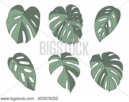 Vector Collection Of Tropical Monstera Leaf Illustrations