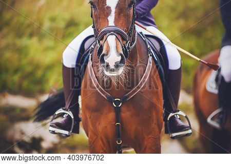 Portrait Of A Bay Horse With A Rider In The Saddle, Which Participates In Sports Equestrian Competit