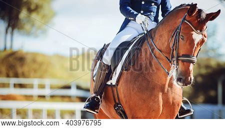 A Beautiful Bay Horse With A Rider In The Saddle Walks In A Paddock With A White Fence On A Sunny Su
