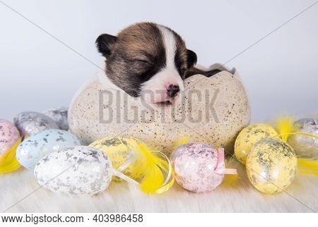 Funny Pembroke Welsh Corgi Puppy In Easter Egg