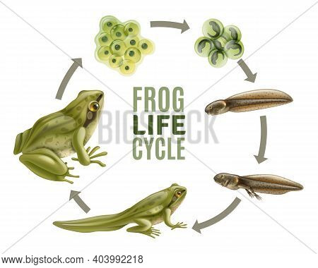 Frog Life Cycle Stages Realistic Set With Adult Animal Fertilized Eggs Jelly Mass Tadpole Froglet Ve