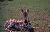 Very young zebra colt Photographed in Kenya Africa poster