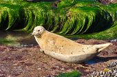 Seal on a rock surrounded by water. San Diego California Coast Line, La Jolla Shores in San Diego, California USA poster