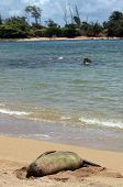 A monk seal takes a rest on the shores of Kauai, an island in Hawaii. poster