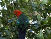 a male king parrot keeps a careful watch as he searches for fresh seed pods poster