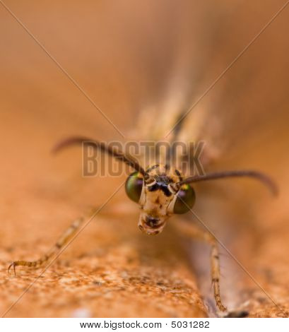 Green Eyed Moth