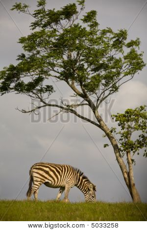 Zebra On The Savannah