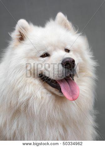 Portrait of a beautiful dog breed - Samoyed