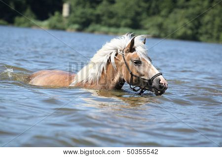 Young Haflinger Swimming