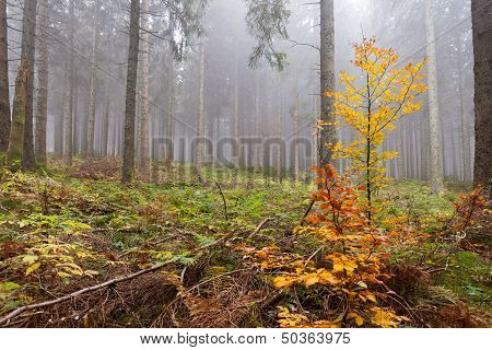Wet And Foggy Peaceful Fall Day In The Forest