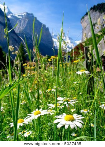 Alpine Flora