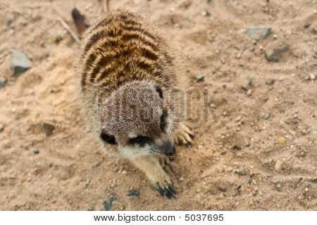 Black-brown Suricata.