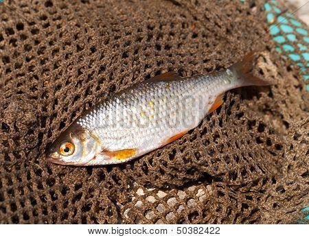 Rudd Is On A Fishing Net