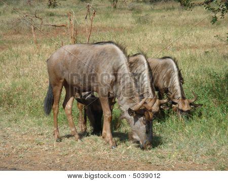 Wildebeests In Kruger Park