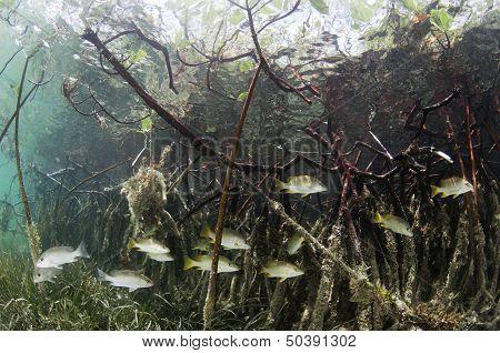 Fish in Mangroves