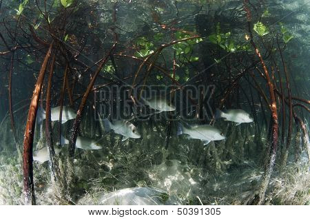 Snapper Fish in the Mangroves