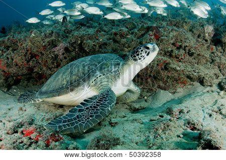 Sea Turtle and Fish