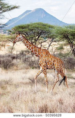 Reticulated Giraffe Walking In The Savannah