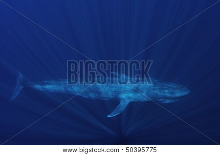 A Blue Whale Underwater