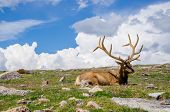 A Rocky Mountain Elk at Rocky Mountain National Park. poster