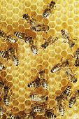 Overhead view of busy honeybees on a comb poster