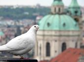 Prague white dove on roof. peace background poster