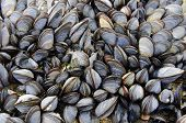 A colony of sea mussels clinging to a rock poster