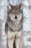 Grey Wolf (Canis lupus) Straight On - captive animal poster