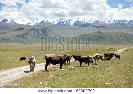 Group of cows pasturing at the road, Kirgizia