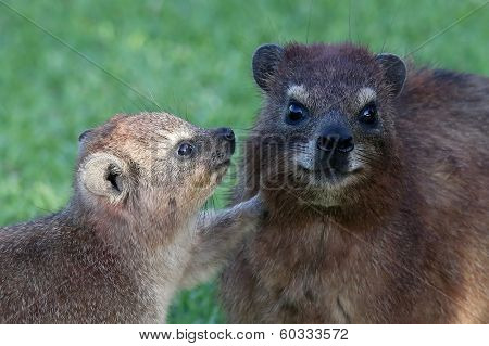Cute Rock Hyrax Mother And Baby