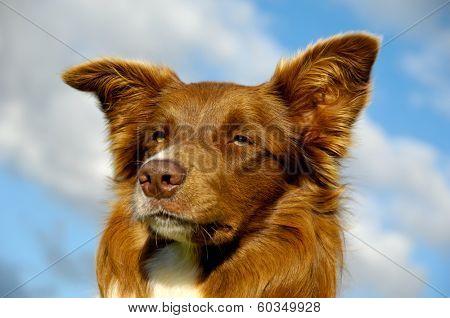 Face of a Border Collie dog