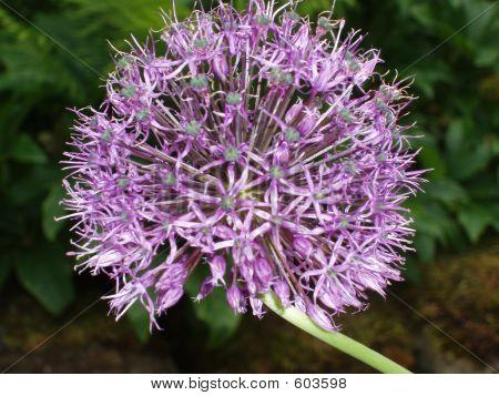 Purple Fluffy Flower