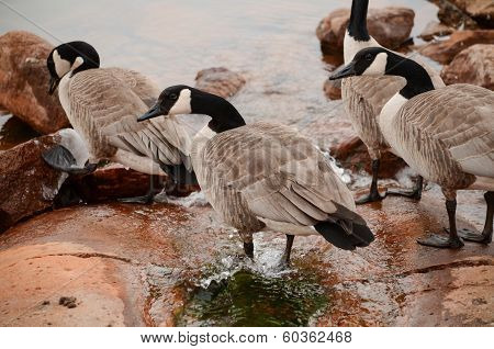 Canadian Geese in Water