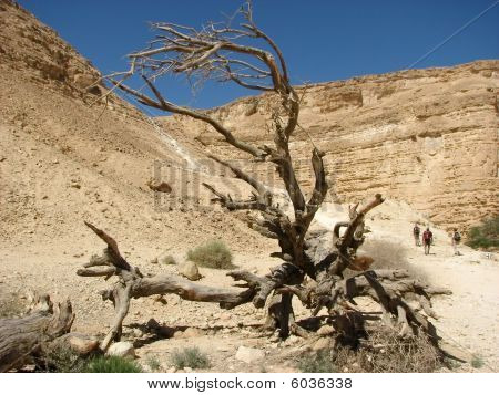 The Arava desert. Israel. Acacia tree in the wilderness of Israel where the people wandered for 40 years during the time of Moses. poster