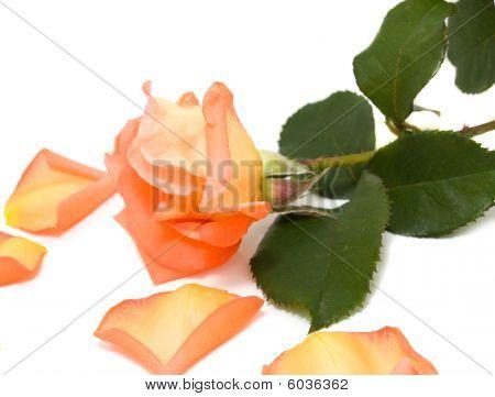 Pink rose with fallen petals