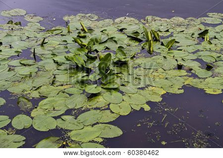 Waterlily Leaves In Lake