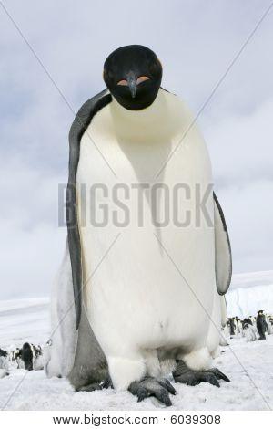 Emperor penguin (Aptenodytes forsteri) standing on the ice in the Weddell Sea Antarctica poster
