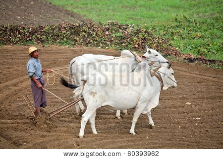 AMARAPURA, MYANMAR - DEC 10, 2013: Plowing rice fields with an ox team. The farmers plows the land ancient method using oxen