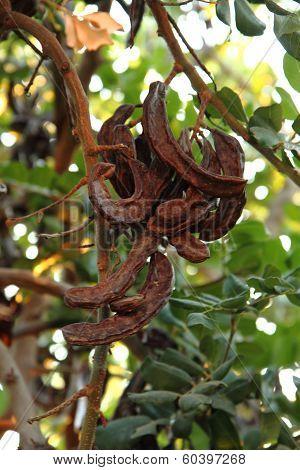 Carob Plant (ceratonia Siliqua)